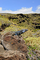 Male Tenerife Lizard (Gallotia galloti) basking, endemic, Tenerife, Canary Islands