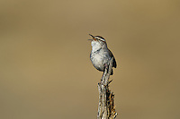 598030026 a wild bewick's wren thryomanes bewickii sings or vocalizes while perched on a twig in kern county california united states