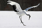 Red Crowned Crane, Grus japonensis, dancing, displaying, wings open, Hokkaido Island, japanese, Asian, cranes, tancho, crested, white, black,  wilderness, wild, untamed, photography, ornithology, snow.Japan....