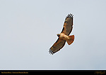 Red-tailed Hawk in Flight, Sepulveda Wildlife Refuge, Southern California