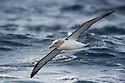 Shy Albatross (Thalassarche cauta) in flight, Snares Islands, New Zealand