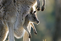 Eastern Grey Kangaroo (Macropus giganteus) with joey in pouch, Australian Capital Territory,  Australia.