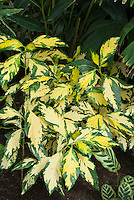 Variegated houseplant Graptophyllum pictum (Caricature Plant) in yellow and green foliage leaves