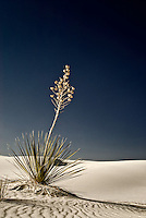 A lone yucca plant on a dune field near sunset at White Sands National Monument in south-central New Mexico.