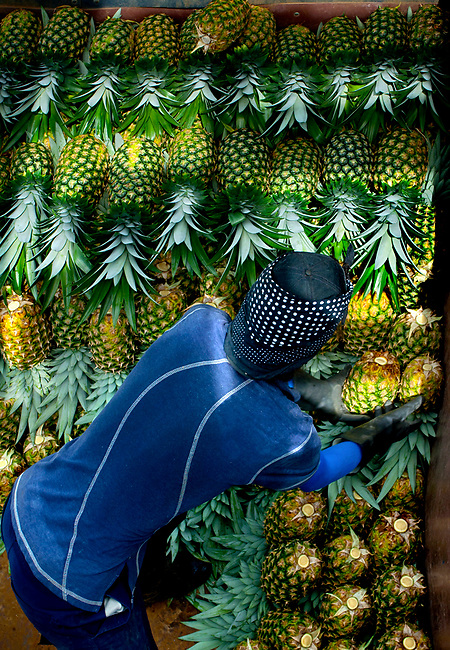 Pineapple worker loads and organizes picked pineapples onto the back of a trailer in Costa Rica.