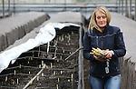 Foto: VidiPhoto<br /> <br /> HELDEN - Het aspergeseizoen is begonnen. Bij aspergeteler Teboza in het Limburgse Helden zijn maandag de eerste asperges gestoken uit de verwarmde bakken in de kassen. De Limburgse teler verwacht dit jaar zo'n 100.000 kilo uit de 6 ha kassen te oogsten voordat het steken buiten begint. Teelt in kassen neemt de laatste jaren een enorme vlucht, omdat daarmee het aspergeseizoen met twee maanden verlengd kan worden. Het witte goud kost op dit moment zo rond de 20 euro per kilo, vrij duur voor Nederlandse begrippen, zodat de meeste asperges op dit moment ge&euml;xporteerde worden naar Belgi&euml; of in speciaalzaken terecht komen. Teboza is met 140 ha. de grootste aspergeteler van ons land. In het hoogseizoen ligt de prijs van een kilo asperges rond de 3 euro. Aspergetelers verwachten dit jaar ook voor de buitenteelt een vroeg seizoen.