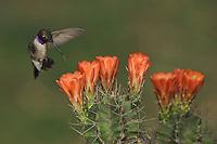 Black-chinned Hummingbird, Archilochus alexandri, male in flight feeding on Claret Cup Cactus (Echinocereus triglochidiatus), Uvalde County, Hill Country, Texas, USA