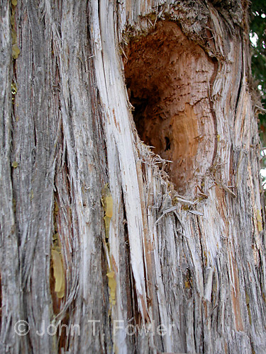 Nest hole of Pileated Woodpecker in Eastern White Cedar tree<br />
