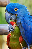Hyacinth and Military Macaws