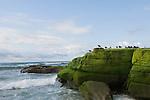 Windansea, La Jolla, California; seagulls sit atop the algae on the rocks at low tide, late afternoon in winter