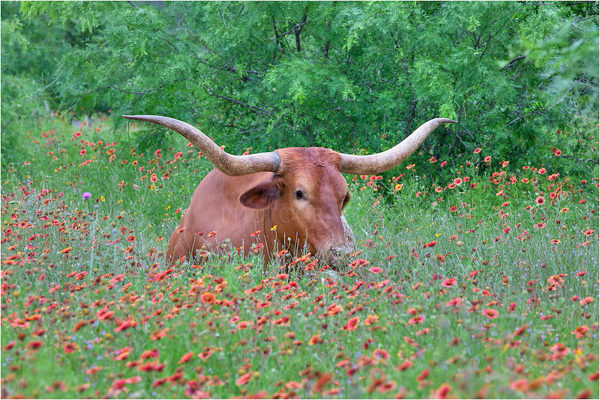 In a small field of Texas wildflowers - this time Indian Blankets or Firewheels - this longhorn enjoys a lazy spring morning. This image was taken between Llano and Marble Falls in the Hill Country.