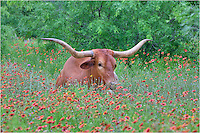 A single Texas Longhorn in a field of Texas indian blankets on a spring day in the Texas Hill Country.