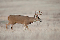 Whitetail buck during autumn rut in Montana