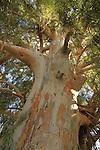 T-156 Eucalyptus tree in Nahal Haelah