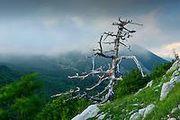 Cuirassed Pine (Pinus leucodermis), Pollino National Park, Italy; WWoE Mission