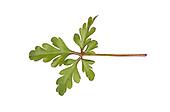 Little Robin - Geranium purpureum forsteri