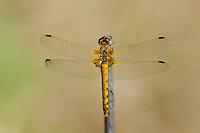 362750014 a wild female spot-winged meadowhawk sympetrum signiferum perches on a dead stick at empire creek las cienegas natural area cochise county arizona