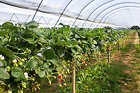 Strawberries growing in a fruit tunnel in Gloucestershire, England, United Kingdom