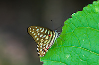 Common Jay butterfly (Graphium doson) perches on the edge of a large green leaf. (Cambodia)