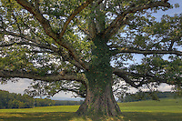 The large live oak tree next to the Charlottesville. Albemarle airport.   Photo/Andrew Shurtleff