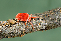 363000002 a wild red velvet mite fam trombididae crawling on log in the rio grande valley of south texas