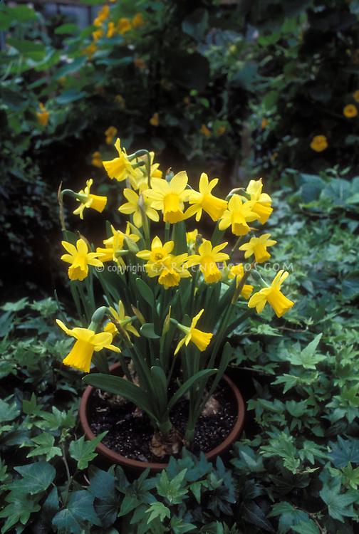 Narcissus Tete-e-Tete Daffodils