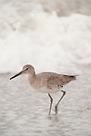 Sanibel Island, Florida; a Willet (Tringa semipalmata) bird forages for food in the surf at the water's edge © Matthew Meier Photography, matthewmeierphoto.com All Rights Reserved