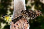 Bird - Finches on a seed sock, Wild Birds of Newport Beach, CA. Photo by Alan Mahood.