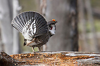 The Dusky Grouse (Dendragapus obscurus) in full display and drumming softly looking for a mate.