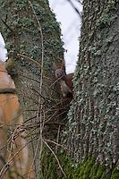 Eichhörnchen, Eich-Hörnchen, baut Nest, Kobel aus Ästen in Astgabel eines Baumes, Sciurus vulgaris, Red squirrel, Écureuil d´Europe