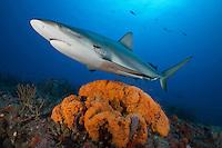 RQ0497-D. Caribbean Reef Shark (Carcharhinus perezi) swimming over Orange Elephant Ear Sponge (Agelas clathrodes). Florida, USA, Atlantic Ocean.<br /> Photo Copyright &copy; Brandon Cole. All rights reserved worldwide.  www.brandoncole.com