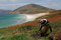 During the reproductive period the Magellanic Penguin (Spheniscus magellanicus) can be found on coasts with soft soil where it breeds in burrows it excavates, Falkland Islands.