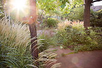 Sunrise in back yard meadow garden with grasses (Miscanthus and Calamagrostis) under Catalpa trees, Albuquerque, New Mexico