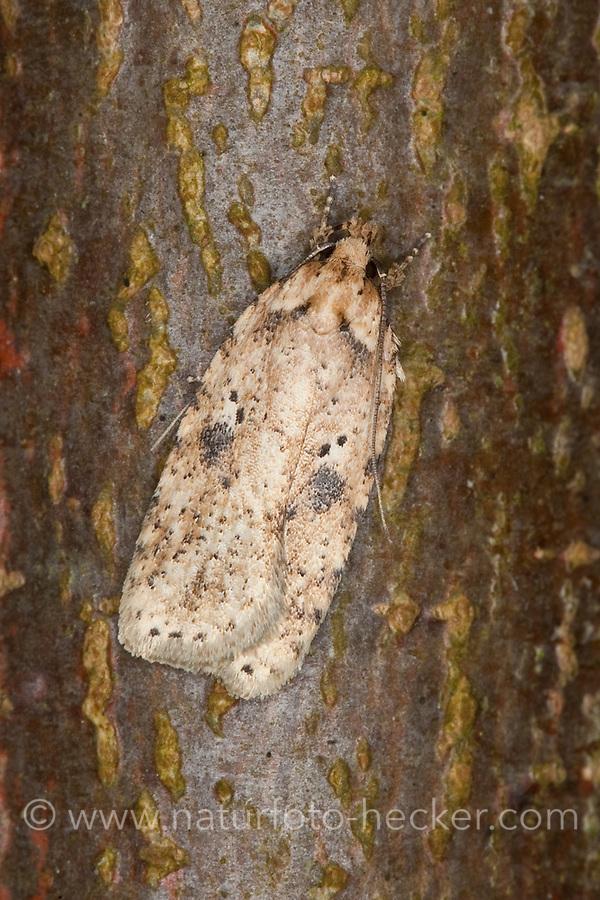 Flachleibmotte, Flachleib-Motte, Motte, Agonopterix arenella, Flachleibmotten, Depressariidae, flat-body moth