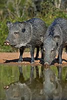650520251 wild javelina or collared peccaries dicolyties drink from a pond on beto gutierrez santa clara ranch hidalgo county lower rio grande valley texas united states