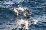 Santa Cruz Island, Channel Islands, California; a large pod of Long-beaked Common Dolphins (Delphinus capensus) moving across the surface of the water , Copyright © Matthew Meier, matthewmeierphoto.com All Rights Reserved