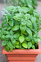 Genovese basil (Occium basilicum) growing in a window box.