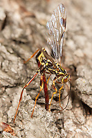 A male Giant Ichneumon (Megarhyssa macrurus) wasp attempts to inseminate a female prior to her emergence in spring from inside a fallen log where she has parasitized a Pigeon Horntail (Tremex columba) larva.