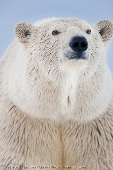 Winter polar bear portrait, Beaufort Sea, Alaska's arctic coast.