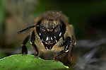 Honey Bee, Apis mellifera, close up of worker bees face, showing eyes, antennae and mouthparts, social, network.United Kingdom....
