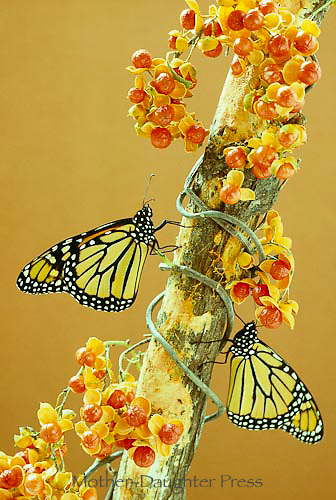 Two monarch butterflies, Danaus plexippus, perch on bough of bittersweet, Celastrus scandens with full berries