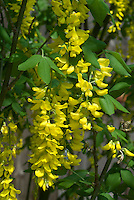 Laburnum x watereri 'Vossii' Goldenchain Tree in yellow flowered spring bloom, golden spring blooming tree