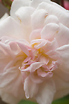 """The subject of old roses sparks many thoughts -- of romance, history, and big, overgrown gardens full of cottage flowers.  However, old roses are fine plants for modern gardens and fit into a variety of situations. They offer color, scent, form and -- in or out of bloom -- they are always worth a good story. Old roses have a past, and they aren't afraid to admit it."".The rose 'Marie Pavie' dates from 1888 and offers pale pink flowers with good scent.  This variety is very tough and easy to grow."