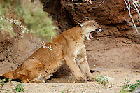Mountain Lion (Felis concolor), Arizona, USA. Captive
