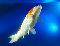 1 one Koi fish tropical oriental fish feeding being fed