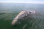 gray whale in Laguna San Igancio