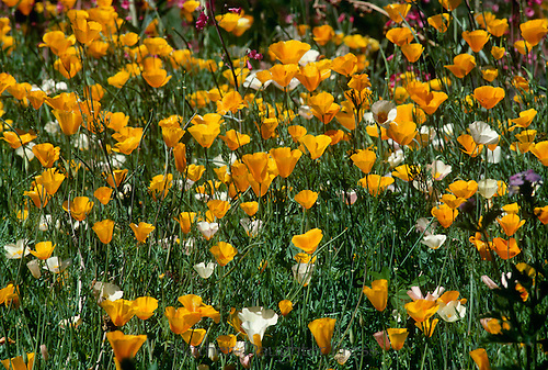 Wildflowers bloom in Arizona. Poppies, etc