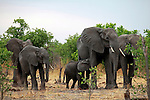 Africa, Botswana, Savute. Elephant family of Savute in Chobe National Park.