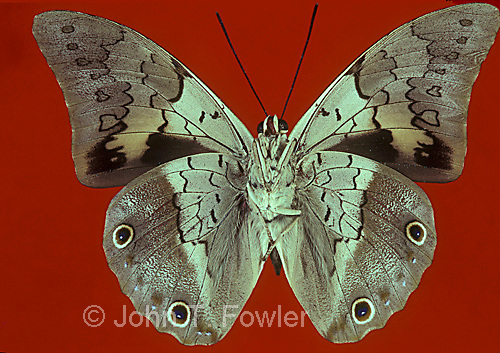 Tropical butterfly Prepona laertes
