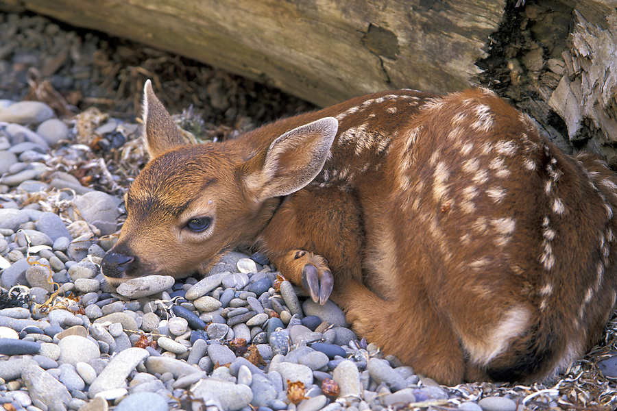 Black-tail deer fawn laying behind log on ocean beach, Cape Alava, Pacific Ocean, Olympic National Park, Washington